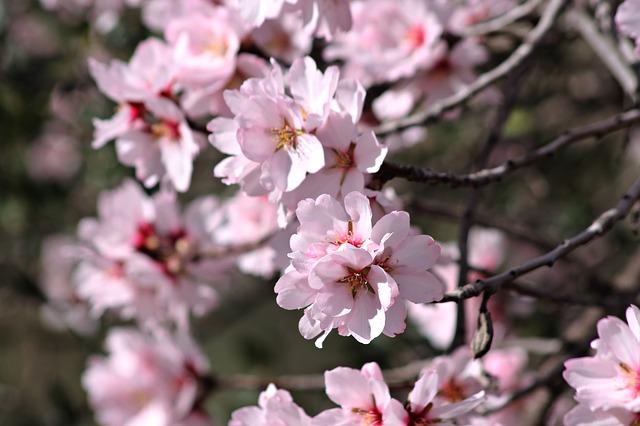 ต้นอามันต์สีชมพู หรือ อัลมอลต์สีชมพู  ตัวแทนแห่งความรักนิรันดรและมิตรภาพอันสวยงามนับแต่นั้นมาจนถึงปัจจุบัน ประวัติวันวาเลนไทน์ (Valentine)  -  สถาบันเรียนภาษาอังกฤษ EduFirst